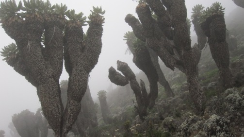 Otherworldly senecio trees