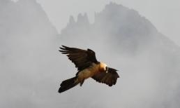 Bearded eagle
